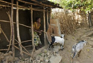 Turning cash into goats: the cash transfer effect in Tanzania