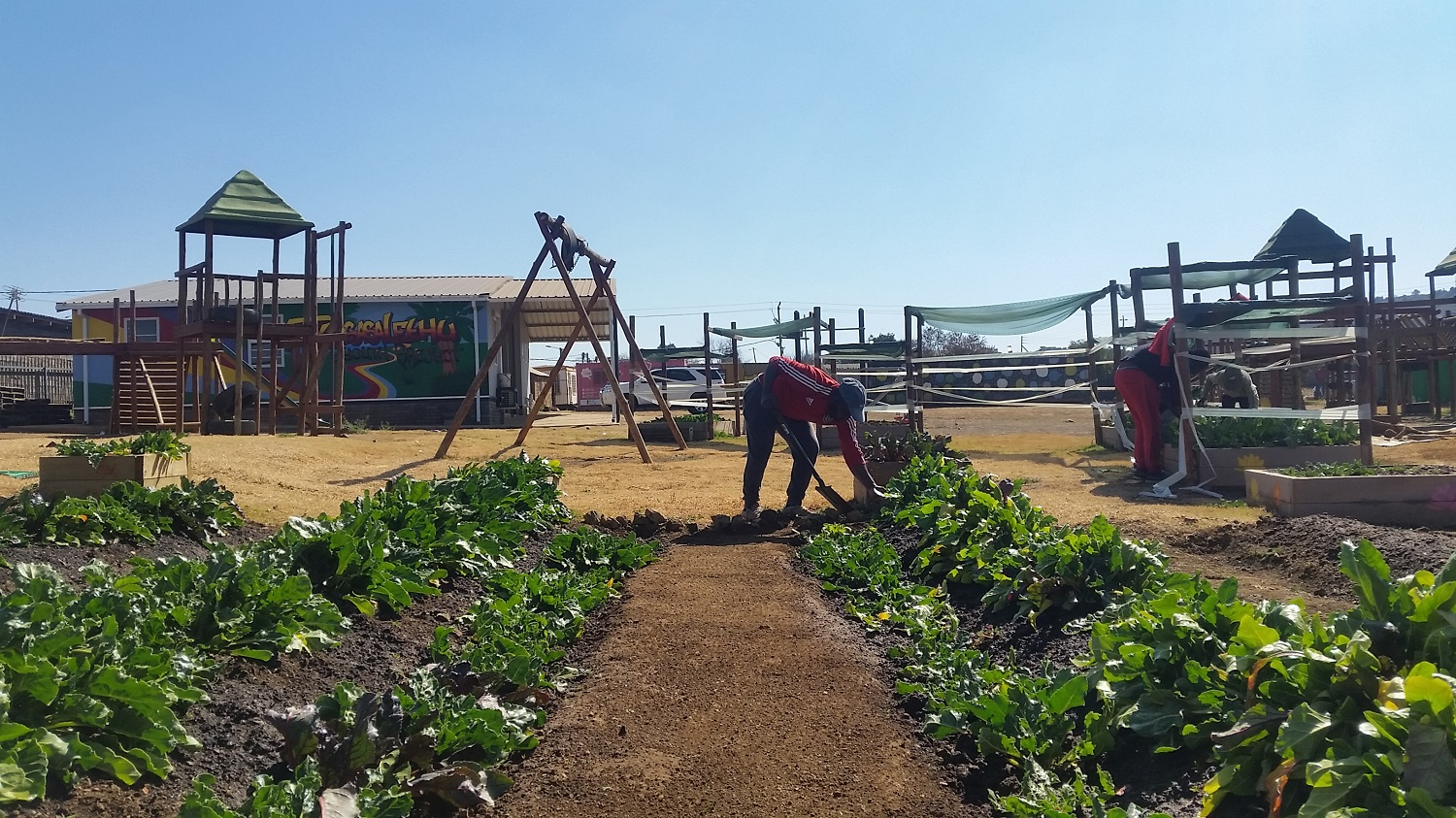 A man tends to rows of plants in a community garden